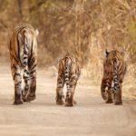 Objektivem po stopách tygrů